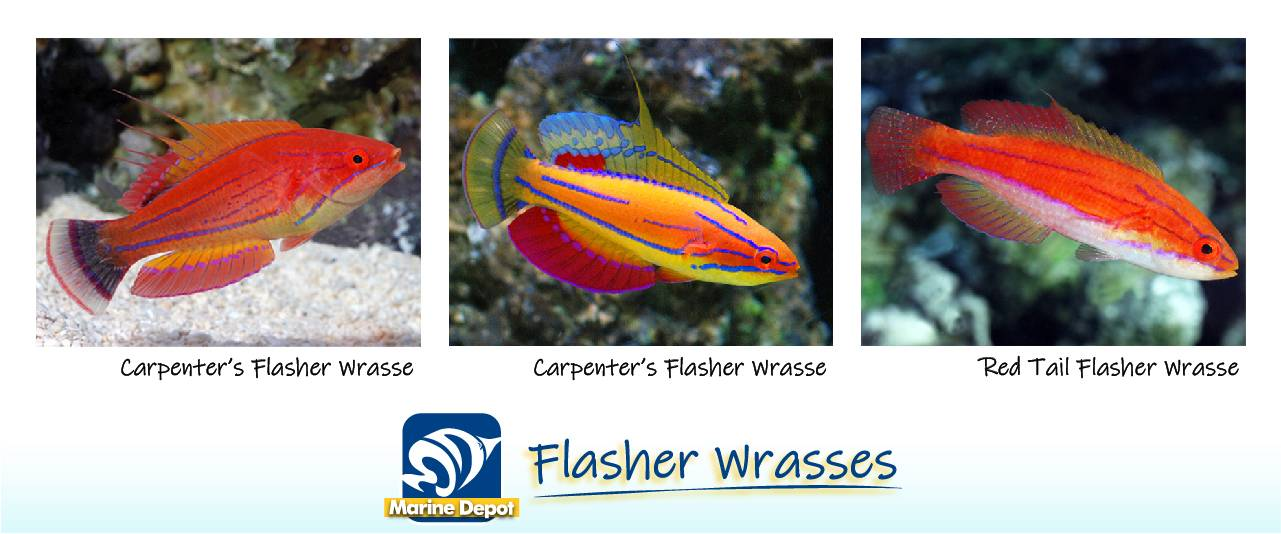 Infographic of Flasher wrasse genus and species common in the trade