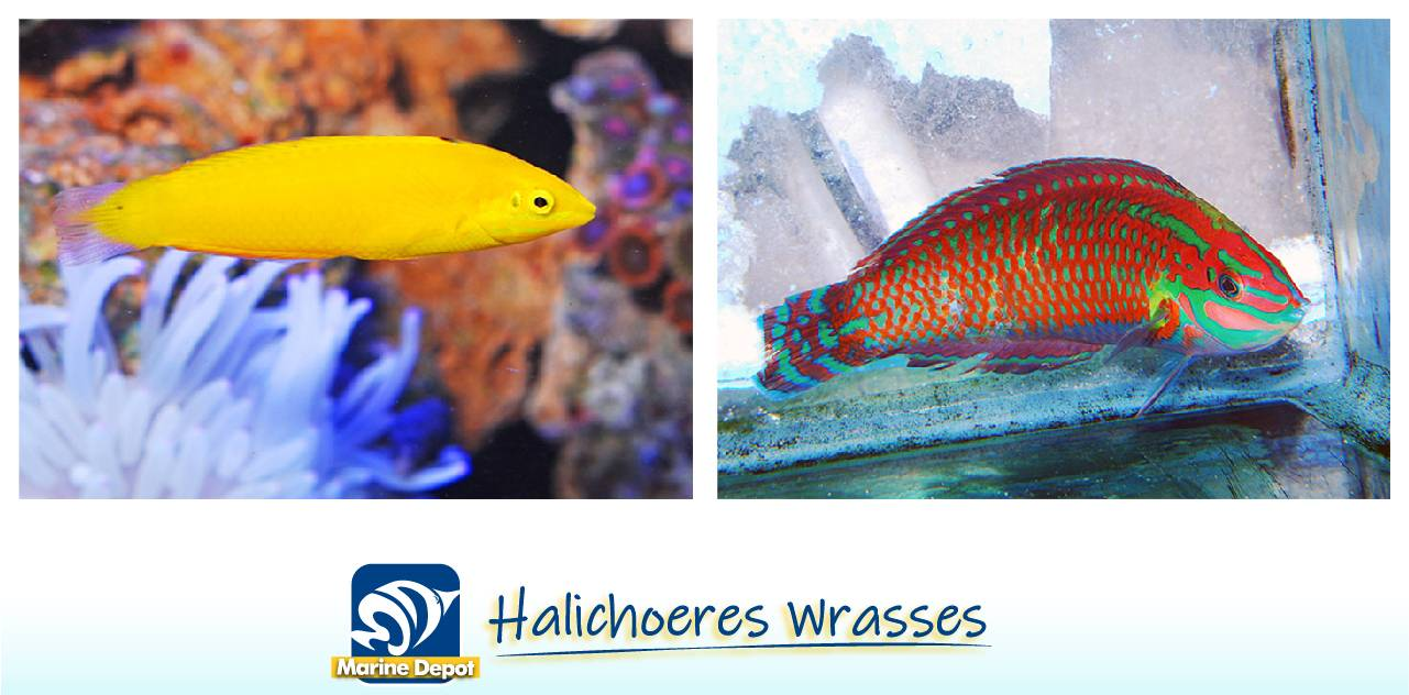 Infographic of Yellow wrasse and Christmas wrasse species examples