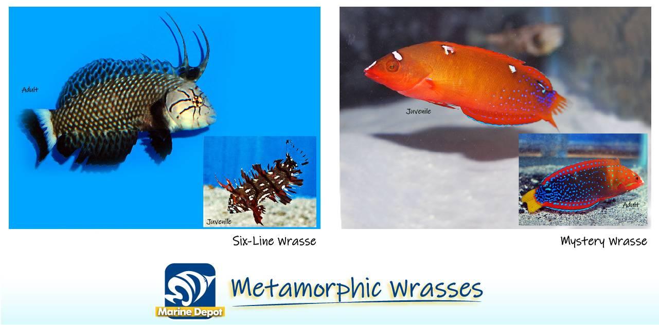 Infographic of metamorphic wrasse species examples