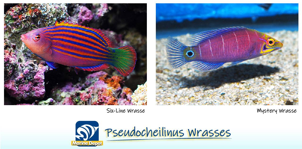 Infographic of Mystery wrasse and 6-line wrasse species examples